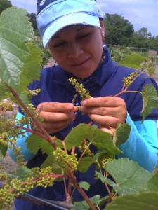 Vine Hybridizing in the American Hybrids